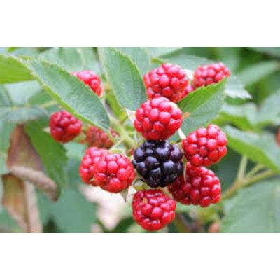 Rubus fruticosus 'Loch Ness' (Braam)
