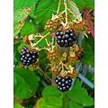 Rubus Frut. 'Black Satin'