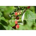 Rubus idaeus 'Glen Ample' (Framboos)