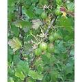 Ribes uva-crispa 'Invicta' (Kruisbes)