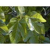 Ficus carica 'Rouge de Bordeaux' Vijgenboom