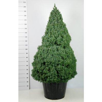 Picea glauca 'Sander's Blue'