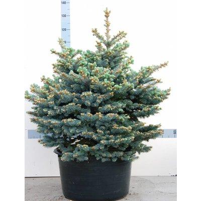 Picea pungens 'Glauca Globosa'