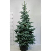 Picea pungens 'Oldenburg'