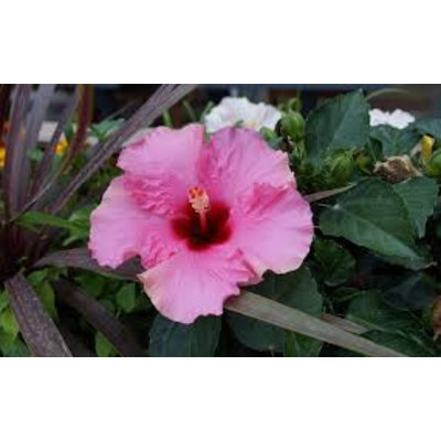 Hibiscus syr. 'Woodbridge'