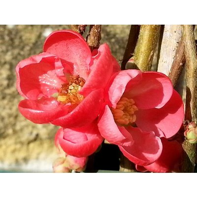 Chaenomeles sup. 'Kn. Hill Scarlet'