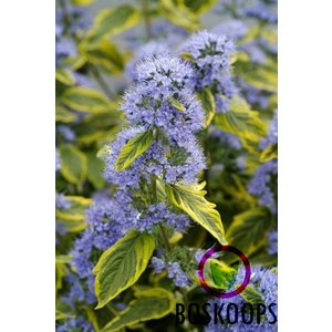 Caryopteris cland. 'Summer Sorbet'