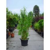 Bamboe Fargesia Murieliae