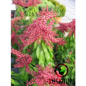 Pieris 'Passion'