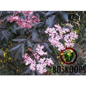 Sambucus nigra Black Beauty