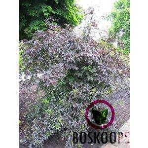 Sambucus nigra 'Guincho Purple'
