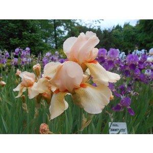 Iris'Constant Wattez'