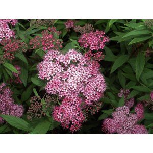 Spirea japonica 'Country Red'