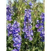 Delphinium 'Lavender'