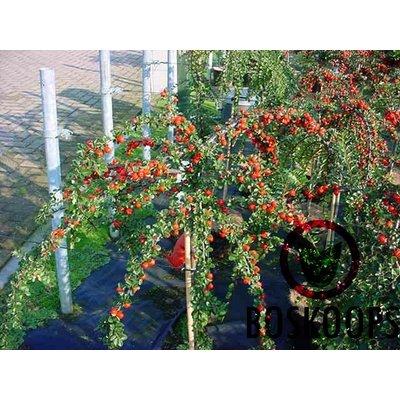 Cotoneaster nanshan 'Boer'