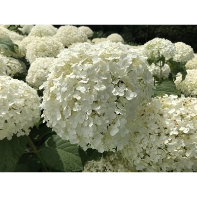 Hortensia Annabelle / Hydrangea Annabelle
