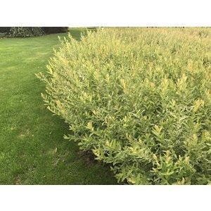 Salix 'Hakuru Nishihiki' Struikvorm