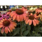 Echinacea Orange Shades