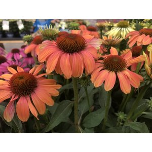 Echinacea Orange Shades