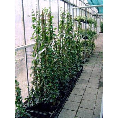 Hedera Hibernica 150-175cm