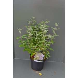 Caryopteris cla. 'Kew Blue'