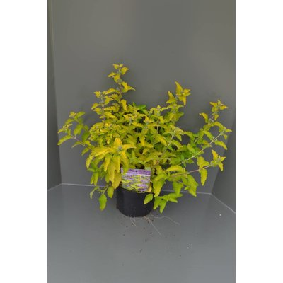 Caryopteris cland. Hint of Gold