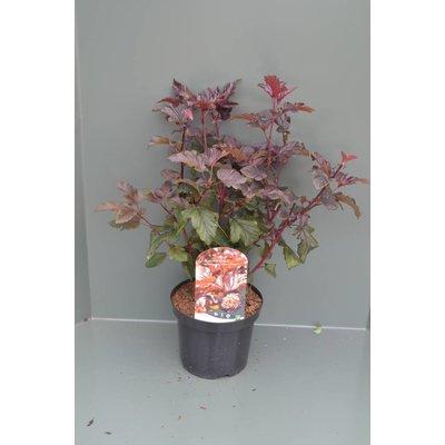 Physocarpus opulif. Lady in Red