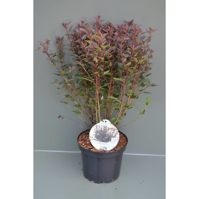 Physocarpus opulif. 'Summer Wine'