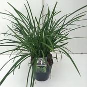 Carex mor. 'Irish Green'