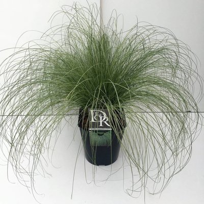 Carex com. 'Frosted Curls'
