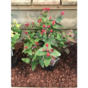 Hypericum inod. Magical Red ®