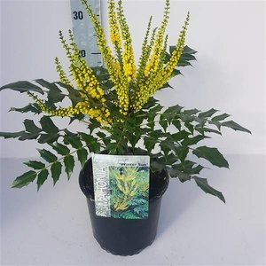 Mahonia media 'Winter Sun'