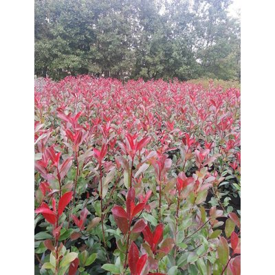Photinia Red Robin 'Glansmispel'