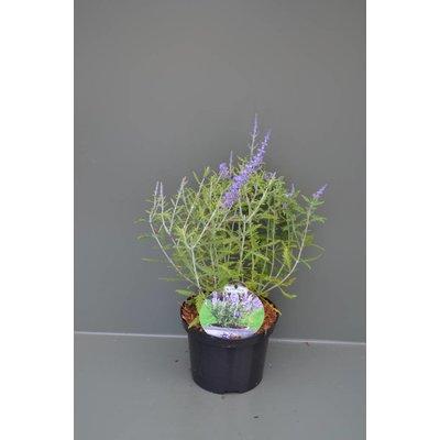 Perovskia Atriplicifolia Little Spire
