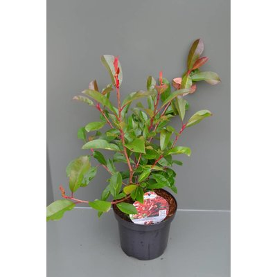 Photinia fraseri Red Light