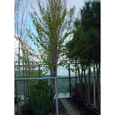 Cercidiphyllum jap. Pendulum