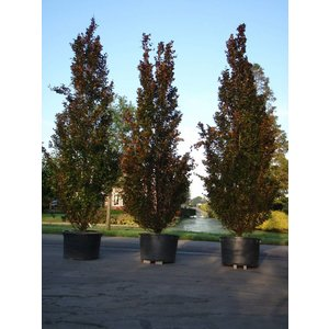 Fagus sylvatica 'Dawyck' Purple
