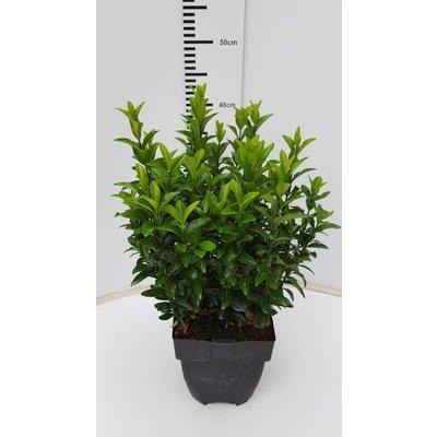 Euonymus Jap Green Spire