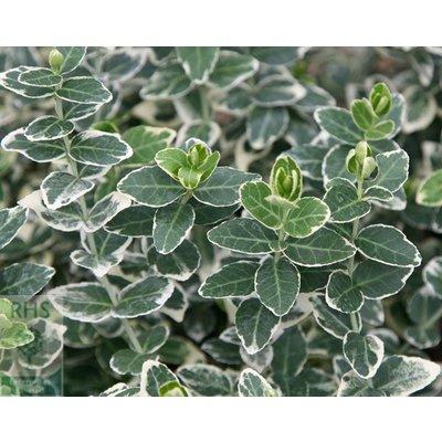 Euonymus Emerald Gaiety op stam