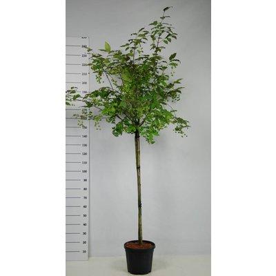 Euonymus Planipes op stam