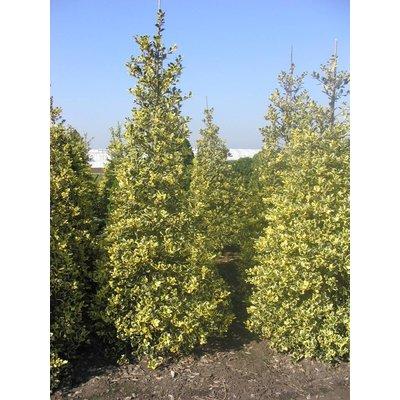 Ilex aq Golden van Tol op stam