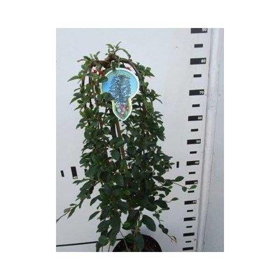 Cotoneaster dammeri Major