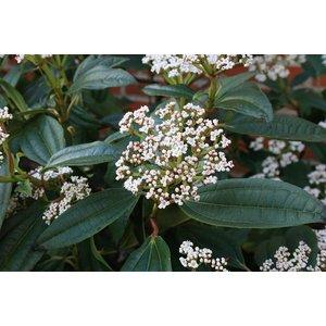 Viburnum davidii ''Sneeuwbal''