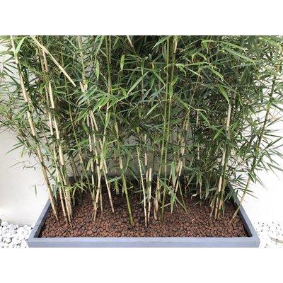 Bamboe Fargesia robusta Campbell