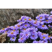 Aster 'Lady in Blue'