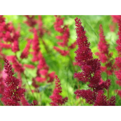 Astilbe (A) Montgomery