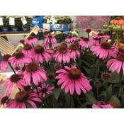 Echinacea purp 'Ruby Giant'