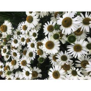 Echinacea Alba