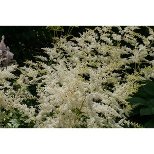 Astilbe (A) 'Weisse Gloria' wit