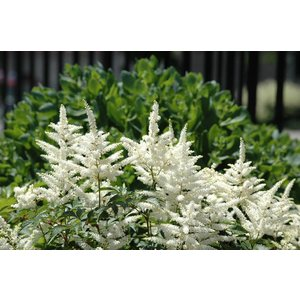 Astilbe  'Little Visions in White'